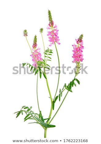 flowering Sainfoin, Onobrychis viciifolia Stock photo © mady70