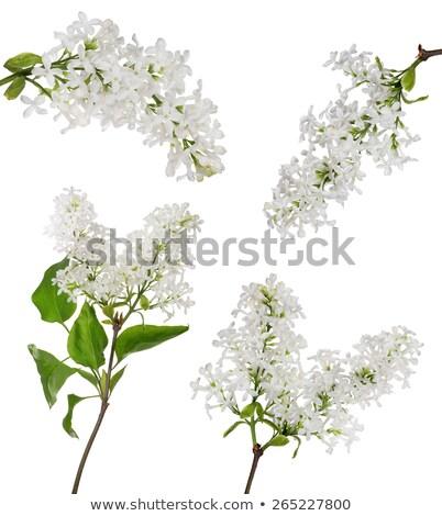 Stok fotoğraf: White Lilacs Flowers