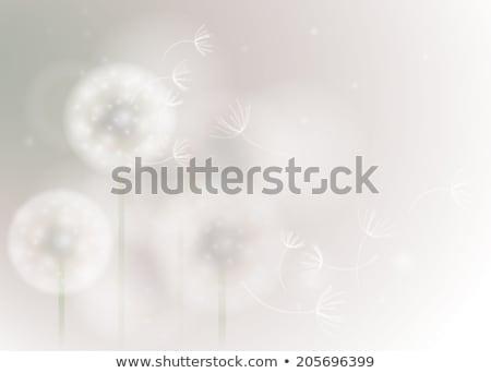 dandelion · voador · sementes · isolado · branco · flor - foto stock © freesoulproduction