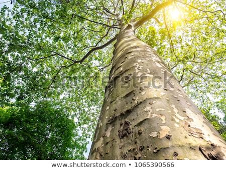 płaszczyzny · drzewo · kory · szczegół · roślin - zdjęcia stock © alessandrozocc