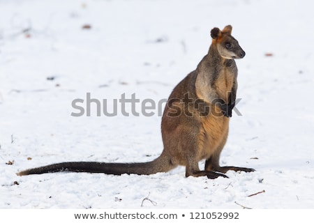 Swamp Wallaby (Wallabia bicolor) Stock photo © dirkr