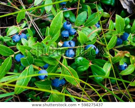 Wild bosbessen macro shot natuur vruchten Stockfoto © klikk