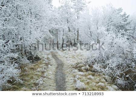 мох льда зима роса снега зеленый Сток-фото © nailiaschwarz