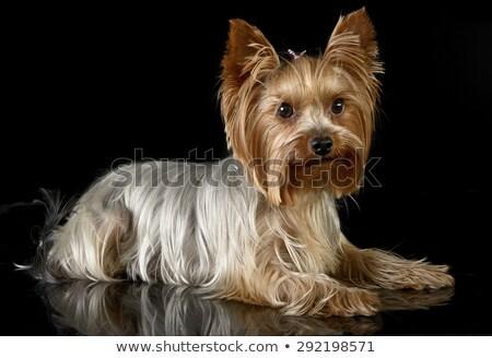 ヨークシャー テリア 暗い スタジオ 犬 美 ストックフォト © vauvau