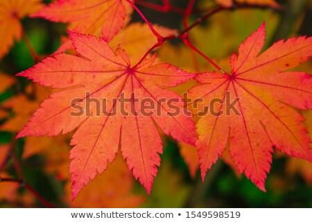 Acer japonicum in the garden Stock photo © dashapetrenko