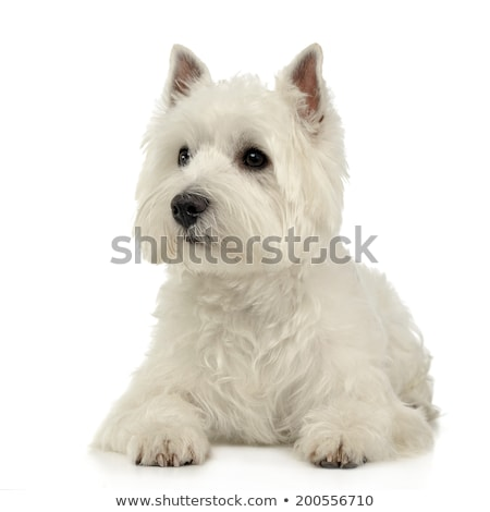Stock photo: West Highland White Terrier lying on the white studio floor