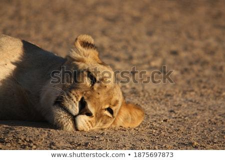 lying lioness closeup Stock photo © OleksandrO