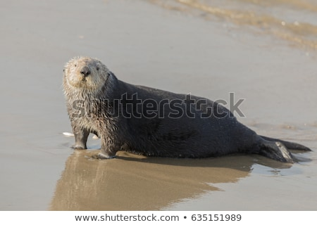 Sea Otter comes out of the water for a mid-day rest. Stock photo © yhelfman