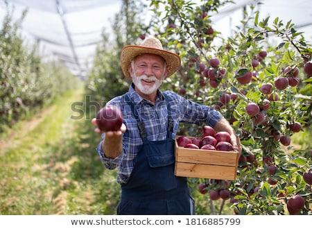 Old man with apple stock photo © Saphira