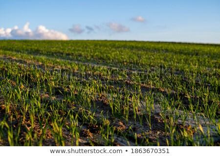 Vert seigle domaine oreille pays fraîches Photo stock © martin33