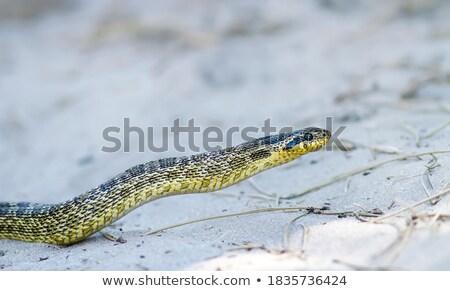 Makro portret węża twarz głowie piękna Zdjęcia stock © taviphoto