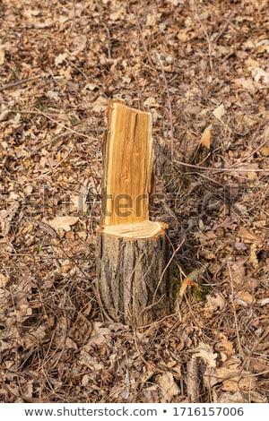 Sahne ağaç kesen kimse ağaçlar örnek ağaç Stok fotoğraf © colematt