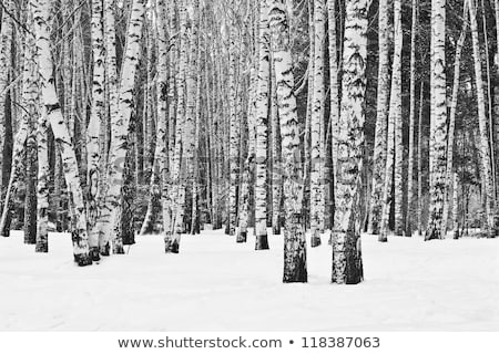 Lonely birch in a forest. Stock photo © pashabo