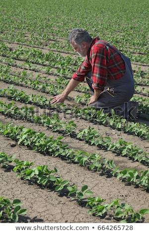 Farmer inspecting soy bean plants field Stock photo © simazoran