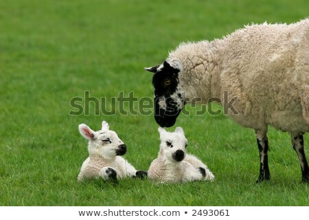 New born lamb twins with mother Stock photo © backyardproductions