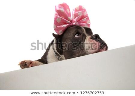 head of curious lying american bulldog with pink ribbon headband stock photo © feedough