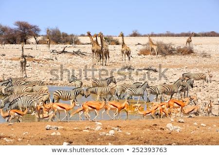 girafa · água · potável · parque · África · do · Sul · natureza · animais - foto stock © artush