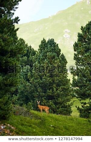 Feminino veado montanha floresta árvores Itália Foto stock © frimufilms