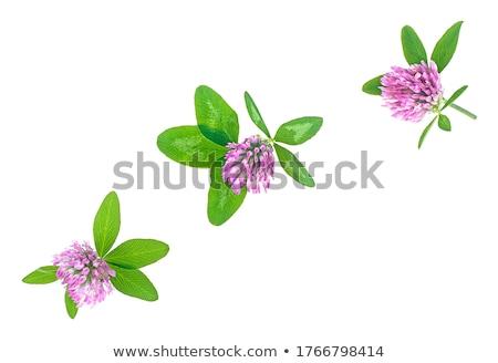 Foto stock: Doce · trevo · flores · branco · raso