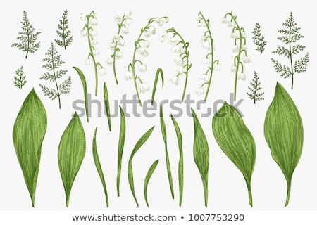 Leaves of lilies of the valley Stock photo © lichtmeister