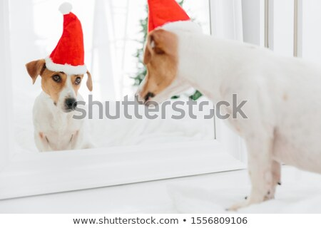 Horizontal shot of pedigree dog looks in mirror at itself, wears red Sant Claus, anticipates for Chr Stock photo © vkstudio