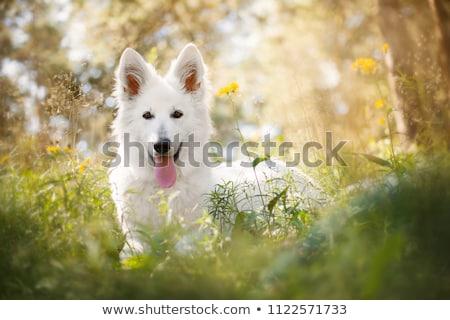белый · пастух · красивой · собака · позируют · студию - Сток-фото © eriklam