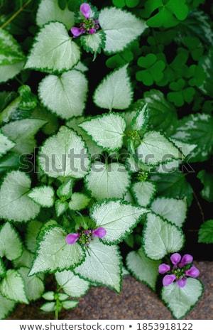 Few green leafs of nettle Stock photo © boroda