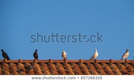 purebreed pigeon Stock photo © taviphoto