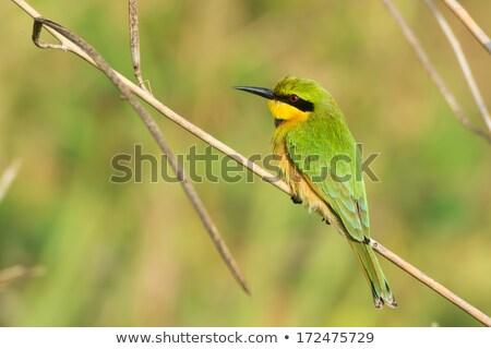 Little bee-eater (Merops pusillus) Stock photo © ajlber