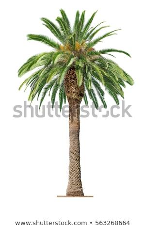 Palma resumen detalle palmera blanco negro Foto stock © thisboy