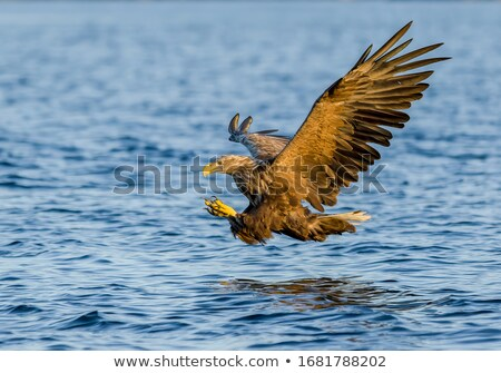 white tailed eagle wildlife scene Stock photo © goce