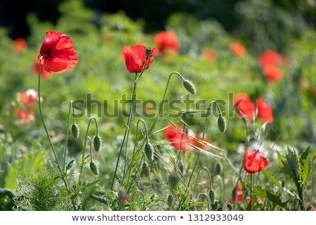 Poppy harvesting Stock photo © hraska