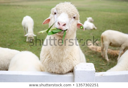 curioso · ovejas · mirando · cámara · fuera · enfoque - foto stock © compuinfoto