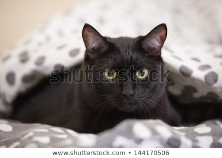 Lazy big black cat laying on bed Stock photo © HASLOO