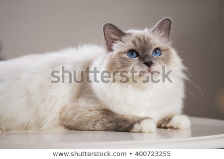 Burmese cat at play Stock photo © buchsammy