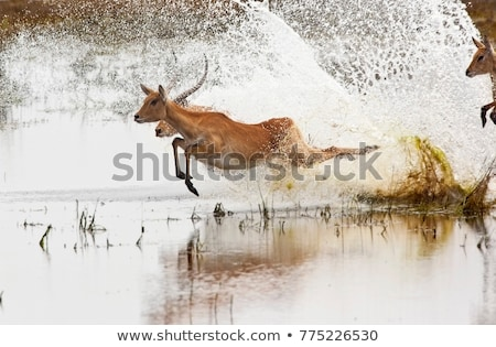 Red Lechwe (Kobus leche leche) Stock photo © dirkr