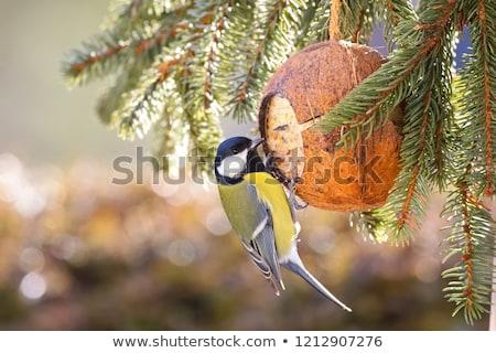 azul · teta · pássaro · comida · natureza · pena - foto stock © taviphoto