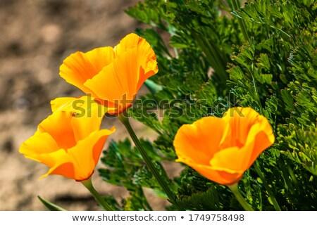 黄色 カリフォルニア ケシ 花 ぬれた ストックフォト © stocker