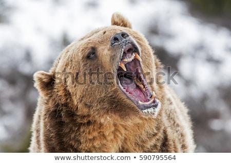 Grizzly medve medve medvebocs lazac baba erdő Stock fotó © devon