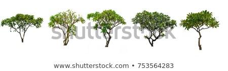 plumeria tree Stock photo © trexec