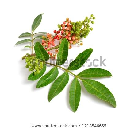 Branche poivre jeunes feuille verte isolé blanche Photo stock © boroda