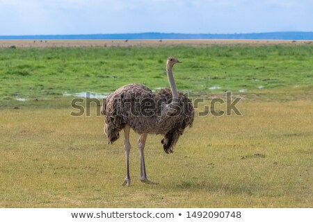 mysterious emu stock photo © ottoduplessis