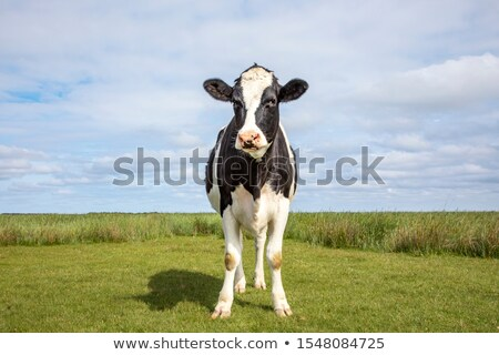friesian cow alone stock photo © rghenry
