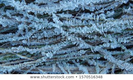 Beautiful close up photo of frosty plant Stock photo © aliaksandra