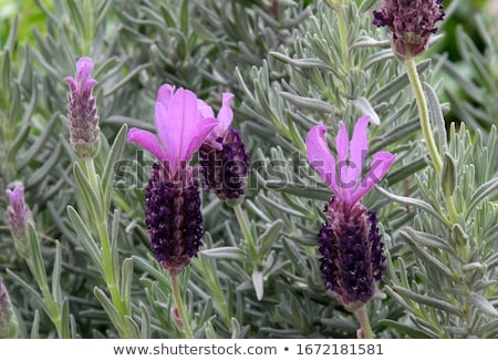Lavandula stoechas Stock photo © manfredxy