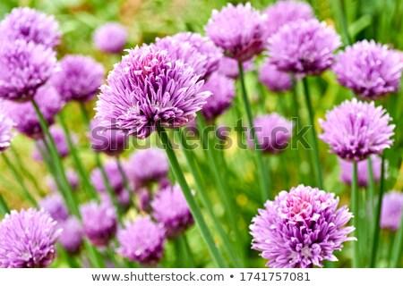 çiçeklenme · zaman · yaratıcı · pişirme · otlar - stok fotoğraf © rbiedermann