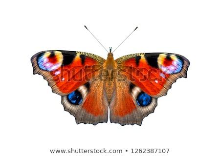 Paw Motyl piękna posiedzenia pomarańczowy plasterka tle Zdjęcia stock © IngridsI