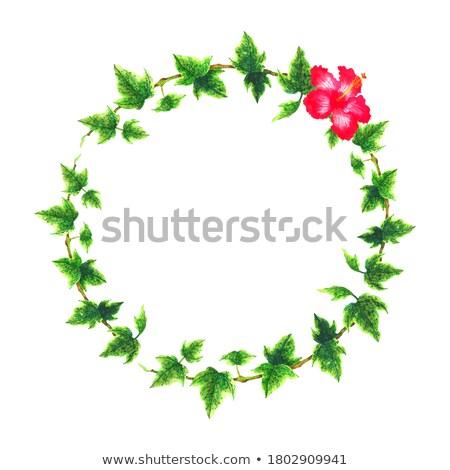 Klimop grens hibiscus afbeelding illustratie Stockfoto © Irisangel