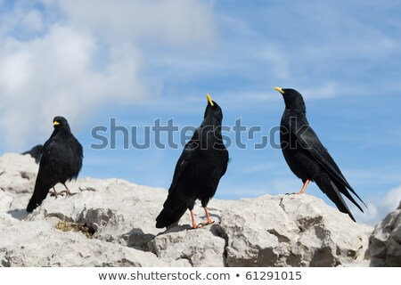 Alpino corvo topo Alemanha montanha pássaro Foto stock © vichie81