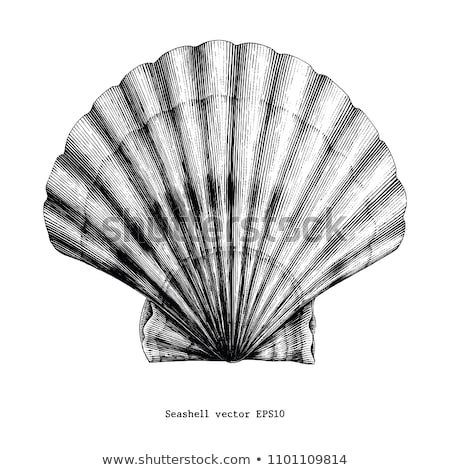 Scallop, vintage engraving. stock photo © Morphart